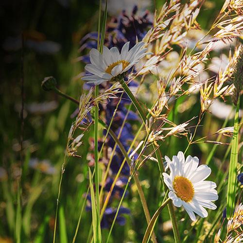 daisies-3430133_19202_7.jpg