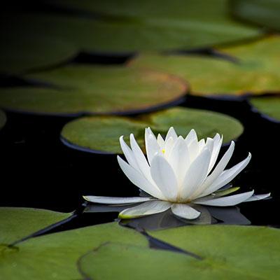 lotus-3144893_1920_7.jpg