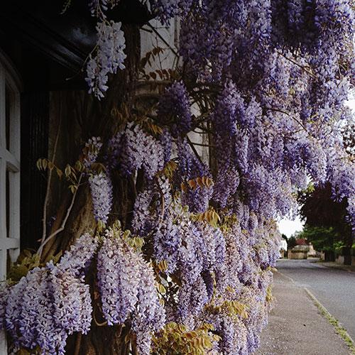 purple-wisteria_7.jpg