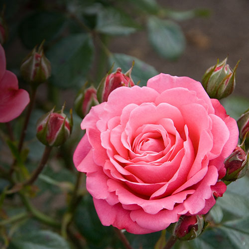 pink-inspired-by-roses_7.jpg