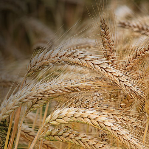 close-up-of-wheat-inspired-engagement_7.jpg