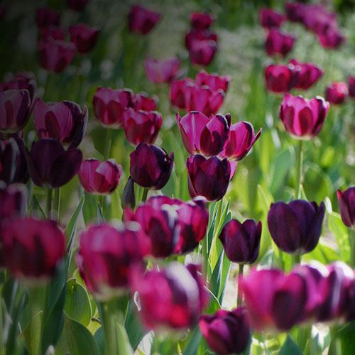 Tulip-inspired-0.51ct-diamond-and-palladium-earrings_7.jpg