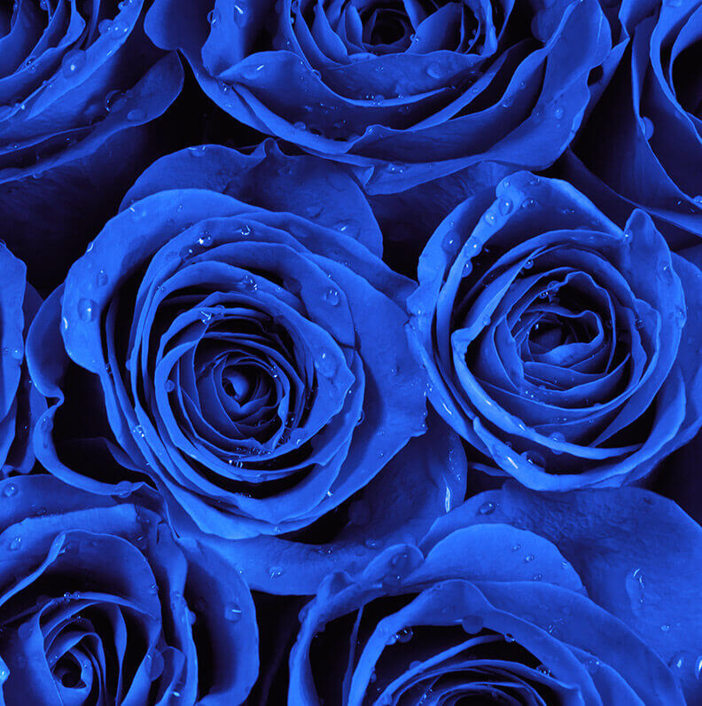 Blue Rose Inspiration