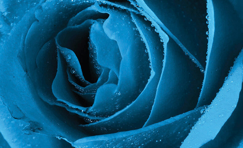 The Inspiration A blue rose
